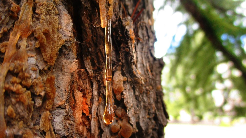 natuurlijke hars op een boom